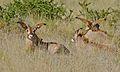 Roan Antilopes (Hippotragus equinus) (6628346577).jpg