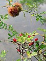 Robin's pincushion on dog rose - geograph.org.uk - 1012403.jpg