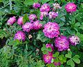 Rosa 'Pompon de Bourgogne' 1.jpg