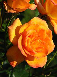 Rosa 'Sahara' 02.JPG