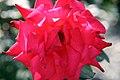 Rosa Bob Hope 0zz.jpg