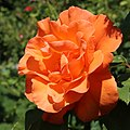 Rosa Doris Tysterman 01 (cropped).jpg