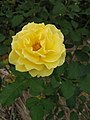 Rosa Gold Bunny01.jpg