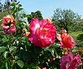 Rosa Honeysweet 1.jpg