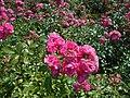 Rosa Lovely Fairy 2018-07-15 6146.jpg
