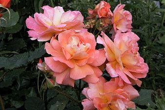 Rosa Westerland.jpg