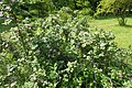Rosa pulverulenta kz03.jpg