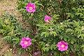 Rosa rugosa 23.jpg