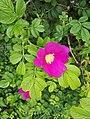 Rosa rugosa inflorescence (18).jpg
