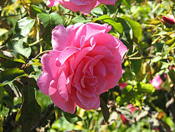 Rose, Filoli Gardends.JPG