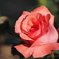 Rose, Pariser Charme, バラ, パリーザァ シャルム, (20846813540).jpg