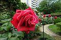 Rose @ Square d'Alleray Labrouste-Saint-Amand @ Paris (34413003800).jpg