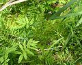 Rose Pogonia, Snakemouth Orchid, Snake-Mouth (Pogonia ophioglossoides), et al - Flickr - Jay Sturner.jpg