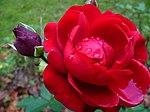 Rose mit Regentropfen.jpg