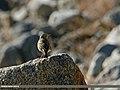 Rosy Pipit (Anthus roseatus) (25627863571).jpg