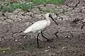 Royal spoonbill, Kakadu National Park.jpg