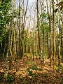 Rubber Plantation in Ghana.jpg