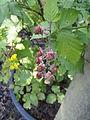 Rubus montanus - Botanischer Garten, Frankfurt am Main - DSC02467.JPG