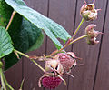 Rubus odoratus - Tuoksuvatukka, Rosenhallon, Purple-flowered raspberry C IMG 1980.JPG