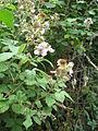 Rubus ulmifolius (2483530797).jpg