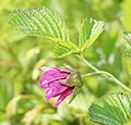 Rubus vernus (flower side).JPG