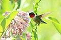 Ruby-throated Hummingbird on Common Milkweed (28746446605).jpg