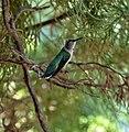 Ruby-throated hummingbird (Archilochus colubris) 259A8216.jpg