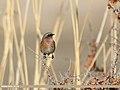 Rufous-backed Redstart (Phoenicurus erythronotus) (32543648520).jpg