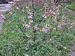 Ruhland, Grenzstraße 3, Mandelbäumchen (Prunus triloba), blühend, Frühling, 03.jpg