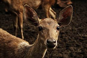 Description de l'image Rusa Deer (C. Timorensis).jpg.