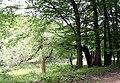 Süntel-Bruchbaum.jpg