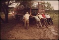 SHEEP BEING LOADED ON A TRUCK AT A RANK IN THE LEAKEY, TEXAS AREA NEAR SAN ANTONIO - NARA - 554878.tif