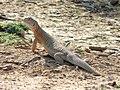 Saara Hardwickii Spiny Tail Lizard.jpg