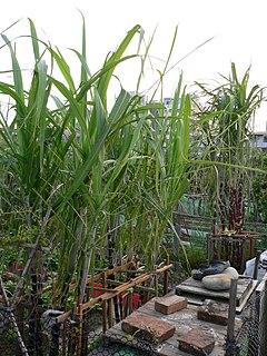 <i>Saccharum sinense</i> species of plant