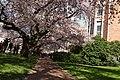 Sakura @ University of Washington, Seattle (7055918445).jpg