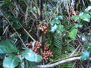 Salak - Fruits on the tree