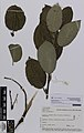Salix . silesiaca Willd. (AM AK361098).jpg