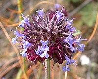 Salvia columbariae 2003-04-11