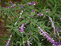 Salvia leucantha (6367470851).jpg