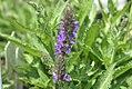 Salvia nemorosa Marcus 0zz.jpg