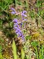 Salvia pratensis in Causse Comtal (1).jpg