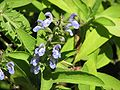 Salvia somalensis.jpg