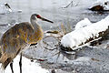 Sandhill Crane in Winter (8355084664).jpg