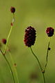 Sanguisorba officinalis - Vitrancu 1.jpg