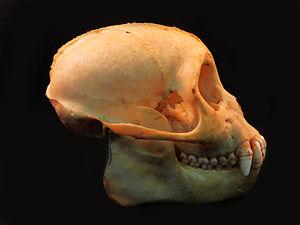 Robust capuchin monkey - S. nigritus skull, a robust capuchin monkey.