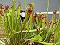 Sarracenia hybrid (6), exhibition in Botanical garden Brno.JPG