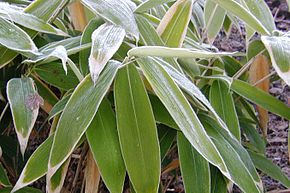 Description de l'image Sasa-palmata-winter.JPG.