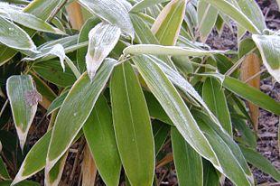 Palmebladet Bambus Wikipedia Den Frie Encyklopaedi