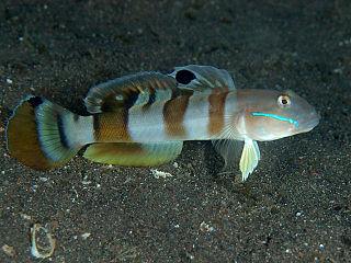 <i>Valenciennea wardii</i> species of fish