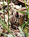 Sawtooth Chipmunk.jpg